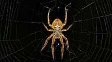 Free Spider, Arachnid, Invertebrate, Orb Weaver Spider Stock Photo - 103416070