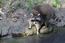 Free Raccoon, Procyonidae, Mammal, Fauna Stock Photography - 103479982