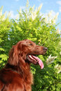Free Portrait Of The Irish Setter Royalty Free Stock Images - 10354469