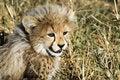 Free Cheetah Cub Stock Photo - 10354540