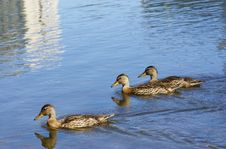 Free Ducks Stock Photography - 10350652