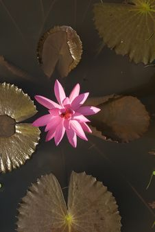 Free Pink Waterlily Stock Images - 10350804