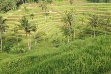 Free Rice Terraces Stock Photo - 10350840