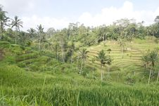 Free Rice Terraces Royalty Free Stock Photos - 10350848