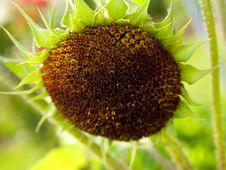Free Sunflower Stock Photos - 10351113