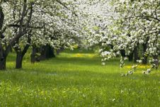 Free Blooming Apple Garden Stock Photo - 10351200