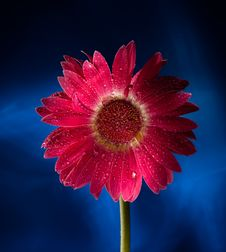 Free Red Gerbera On Blue Background Royalty Free Stock Images - 10351249