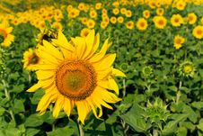 Free Field Of Sunflowers Stock Images - 10351314