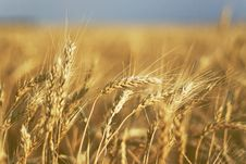 Free Wheat In The Ear Royalty Free Stock Images - 10351319