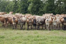 Free Jersey Cows Royalty Free Stock Images - 10351419