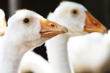 Free Young Goose Royalty Free Stock Photos - 10351848