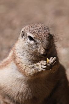 Free Cape Ground Squirrel Royalty Free Stock Images - 10352519