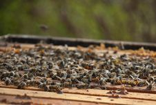 Free Some Bees Stock Photo - 10353790