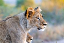 Free Lion Royalty Free Stock Photo - 10354205