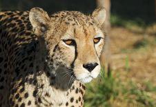 Free Gepard - Cheetah Royalty Free Stock Photos - 10354238