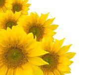 Free Sunflowers Stock Image - 10354291