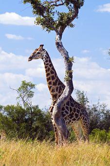 Free Giraffe Royalty Free Stock Photos - 10354328