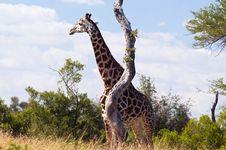 Free Giraffe Royalty Free Stock Images - 10354349