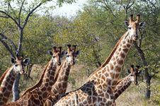 Free Giraffes Stock Image - 10354371