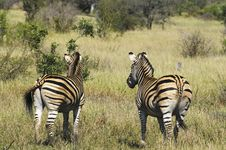 Free Zebras Royalty Free Stock Image - 10354426