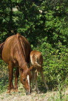 Mare And Colt Grazing Royalty Free Stock Photos
