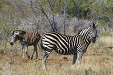 Free Zebras Stock Images - 10354774