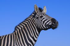 Free Zebra Stock Photo - 10354790