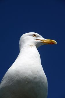 Free Seagull Royalty Free Stock Photography - 10355087