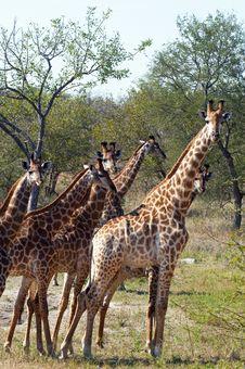 Free Giraffes Royalty Free Stock Photos - 10355188