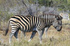 Free Zebras Royalty Free Stock Photography - 10355277