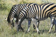 Free Zebras Royalty Free Stock Images - 10355299