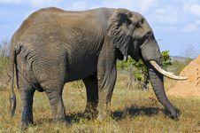 Free Elephants Stock Image - 10355531
