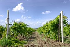 Free Vine Field Stock Image - 10355691