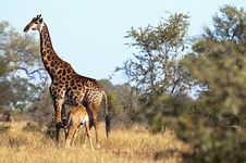 Free Giraffes Royalty Free Stock Images - 10355729