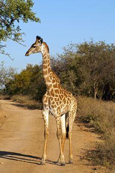 Free Giraffe Stock Image - 10355751