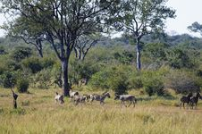 Free Zebras Royalty Free Stock Photography - 10355777