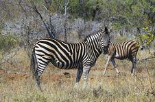 Free Zebras Stock Image - 10355801