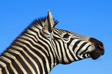 Free Zebra Stock Photos - 10355823