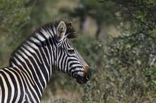 Free Zebra Royalty Free Stock Image - 10355846
