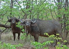 Free Cape Buffalo Wild In Africa Royalty Free Stock Photos - 10356768