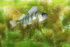 Free Swimming In Water  Perch Stock Photography - 10356972