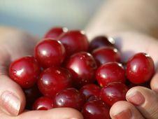 Free Cherry Stock Photography - 10357712