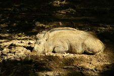 Free Wild Pig Is Sleeping Royalty Free Stock Photography - 10357777
