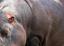 Free Hippo Stock Photo - 10358400