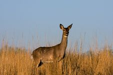 Free Deer In The Meadow. Royalty Free Stock Image - 10358526