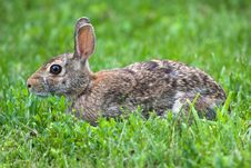 Jack Rabbit Resting Royalty Free Stock Image