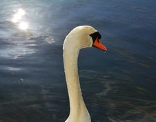 Free Isolated Swan Is Swimming On The Lake. Portrait Stock Images - 103544664