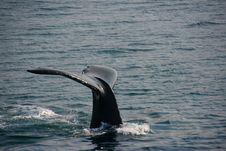 Free Humpback Whale Fluke Stock Images - 10361194