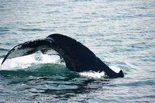 Free Humpback Whale Fluke Stock Image - 10361561