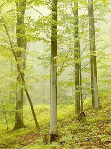Free Misty Beech Forest In Autumn Stock Photo - 10361840